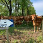 Charente Nouvelle Aquitaine koeien camping Le Douvet
